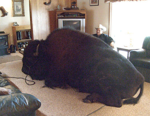 Världens största husdjur!